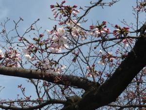 舞鶴公園 さくらはまだ2分咲きです。